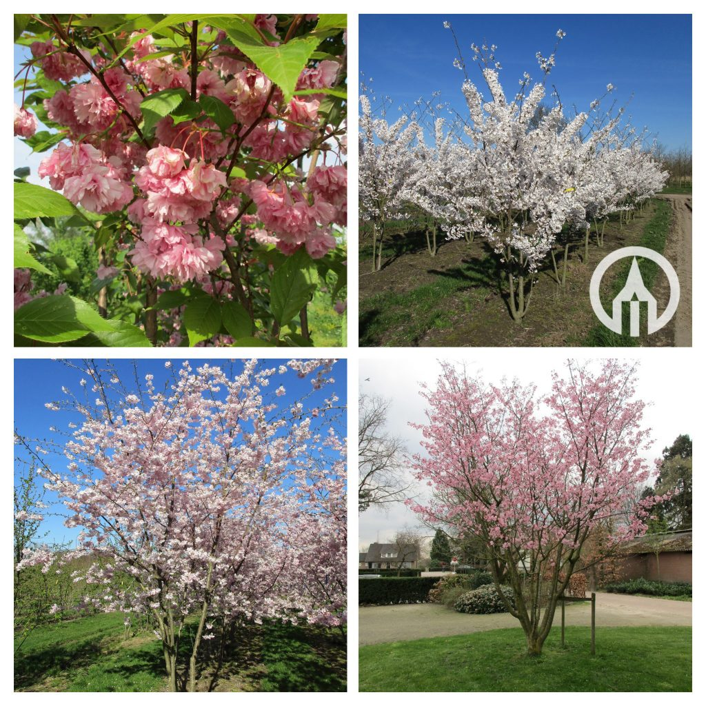 Prunus serrulata Kanzan-COLLAGE