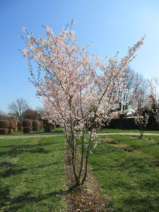 1Prunus_Accolade
